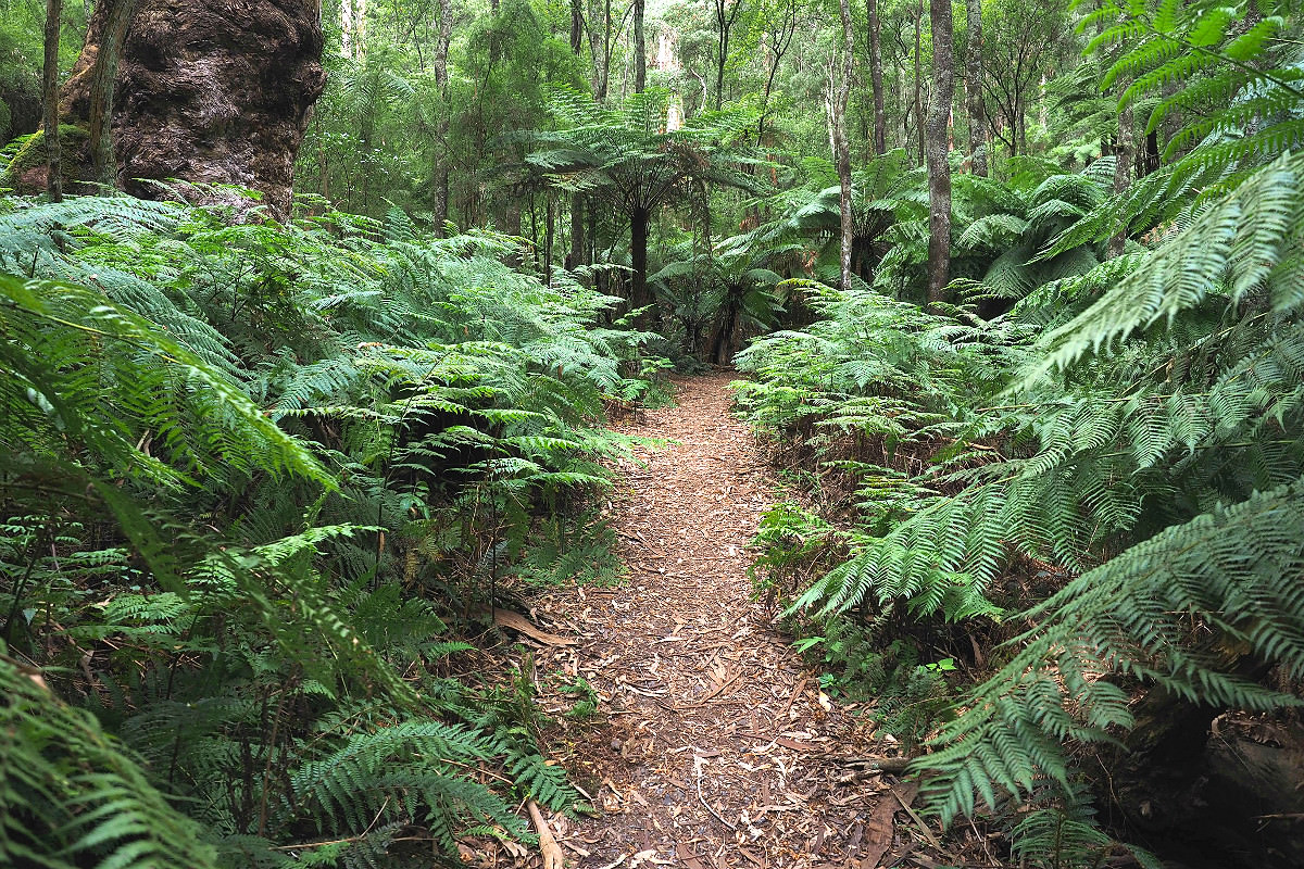 Beautiful bush trails at 1000 Steps Dandenong