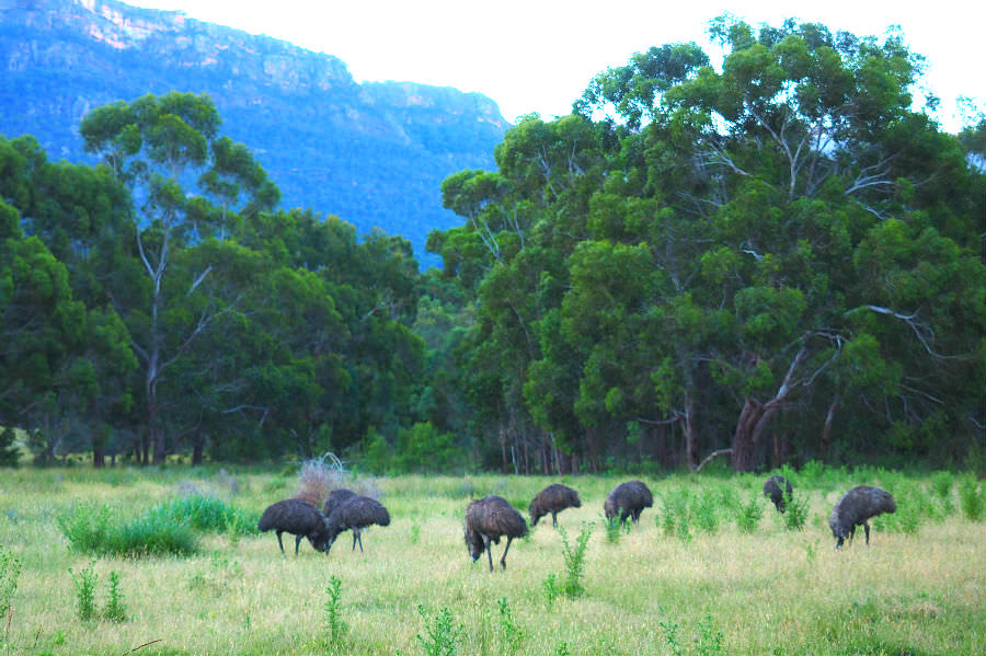 Emus at Halls Gap Lakeside Tourist Park