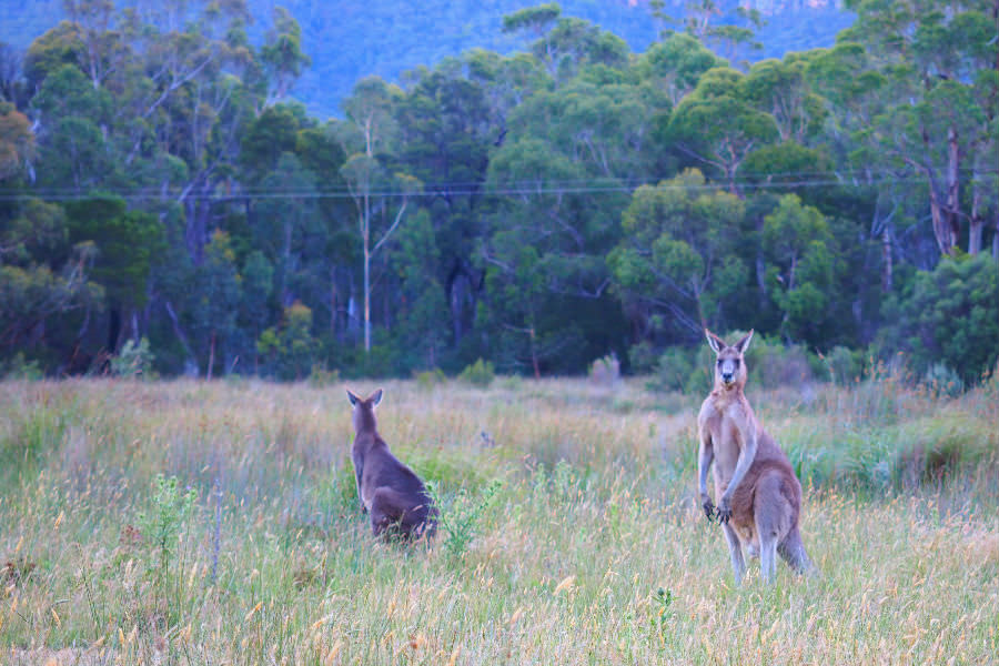 Kangaroos at Halls Gap Lakeside Tourist Park