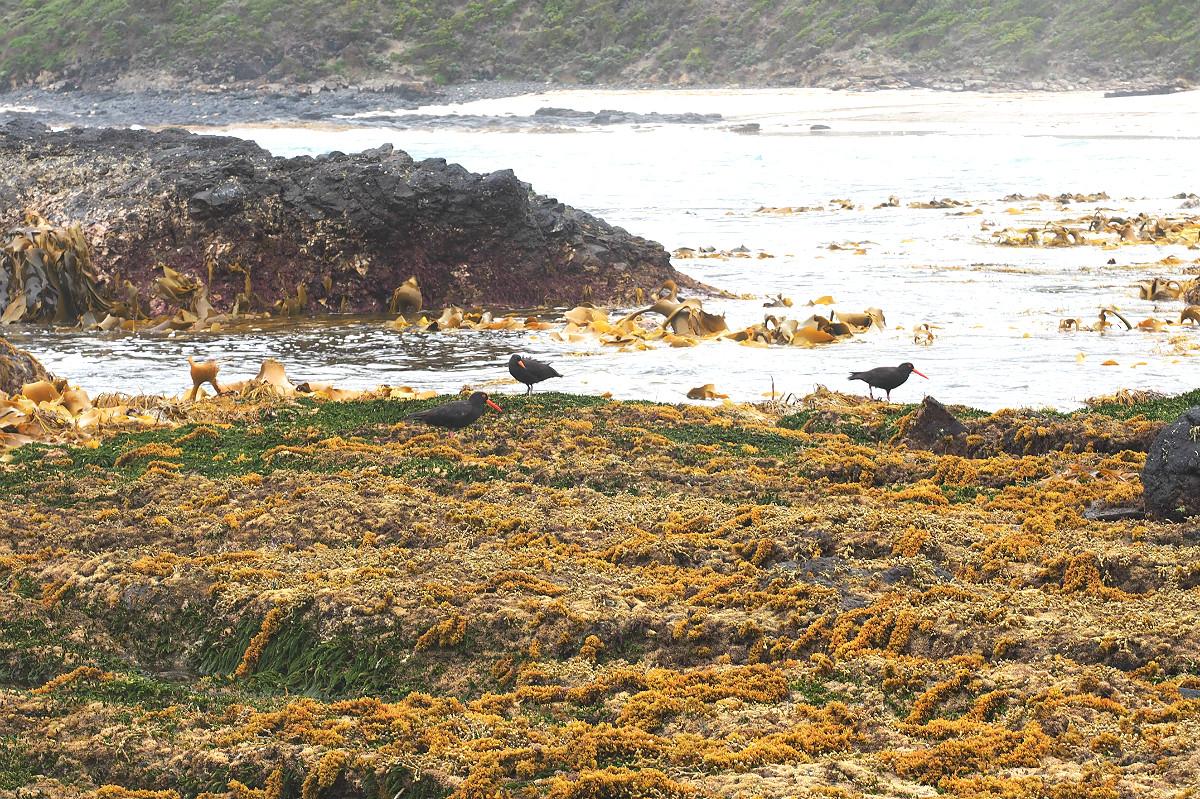 Bushrangers Bay Sooty Oystercatcher